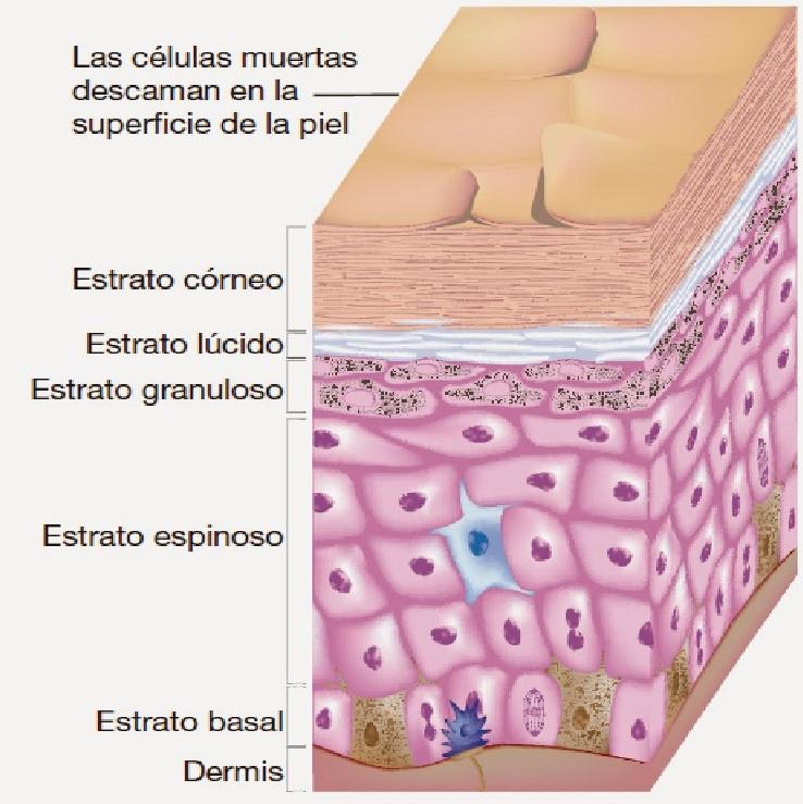 Estructura de los labios